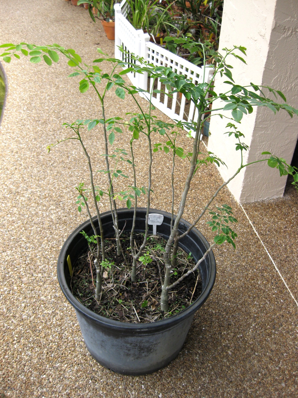 Young Moringa Leaves Facts